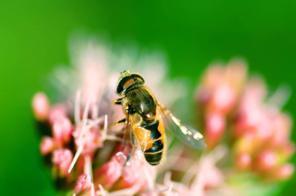La reine abeille